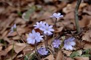 сини горски цветя
